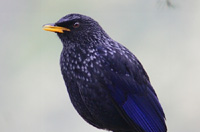 Rishikhola - Blue Whistling Thrush