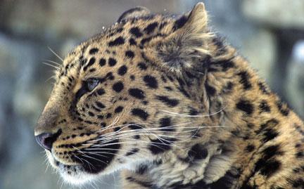 ogcGR_lg_amurleopard